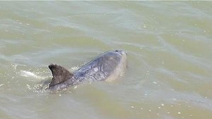 A bottle nose dolphin enjoying  the creek much to the delight of locals in September 2012  Photo: ABC 7 News
