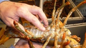 Primo shows the female lobsters will at times have eggs, which is considered a delicacy and referred to as 'Roe' or lobster caviar