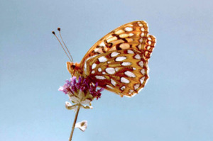 The he Callippe Silverspot is one of the butterfly's to receive protection through 2043