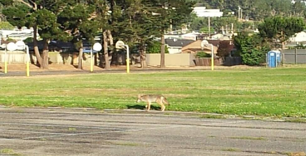 Coyote at Westborough Park Photo Jessica Adkins