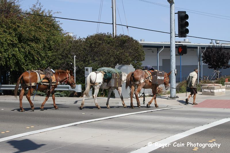 "Crossing Spruce Avenue, the 3 mules continue on their travels. ""He is a man of few words"" comments Photographer ROGER CAIN"