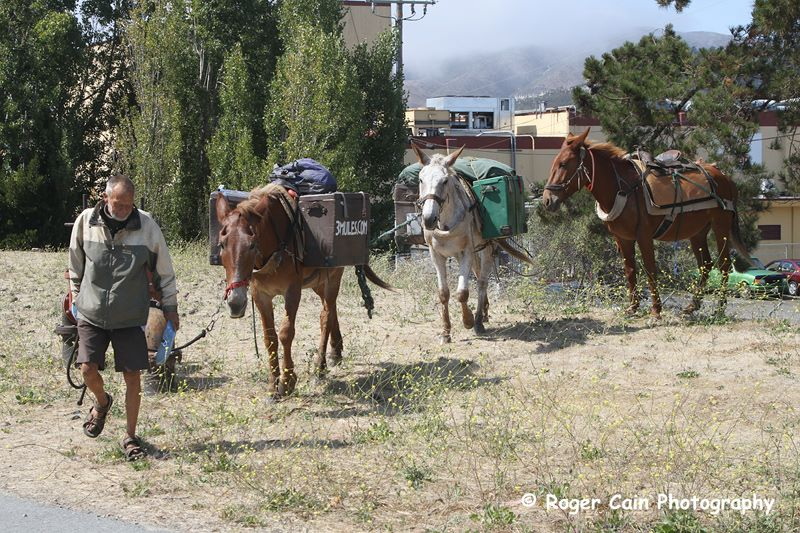 The mules as they make their way through Centennial Trail in South City
