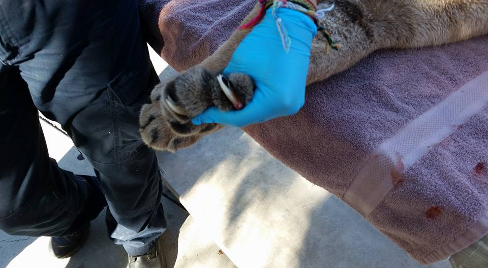 The young male mountain lion had been tagged