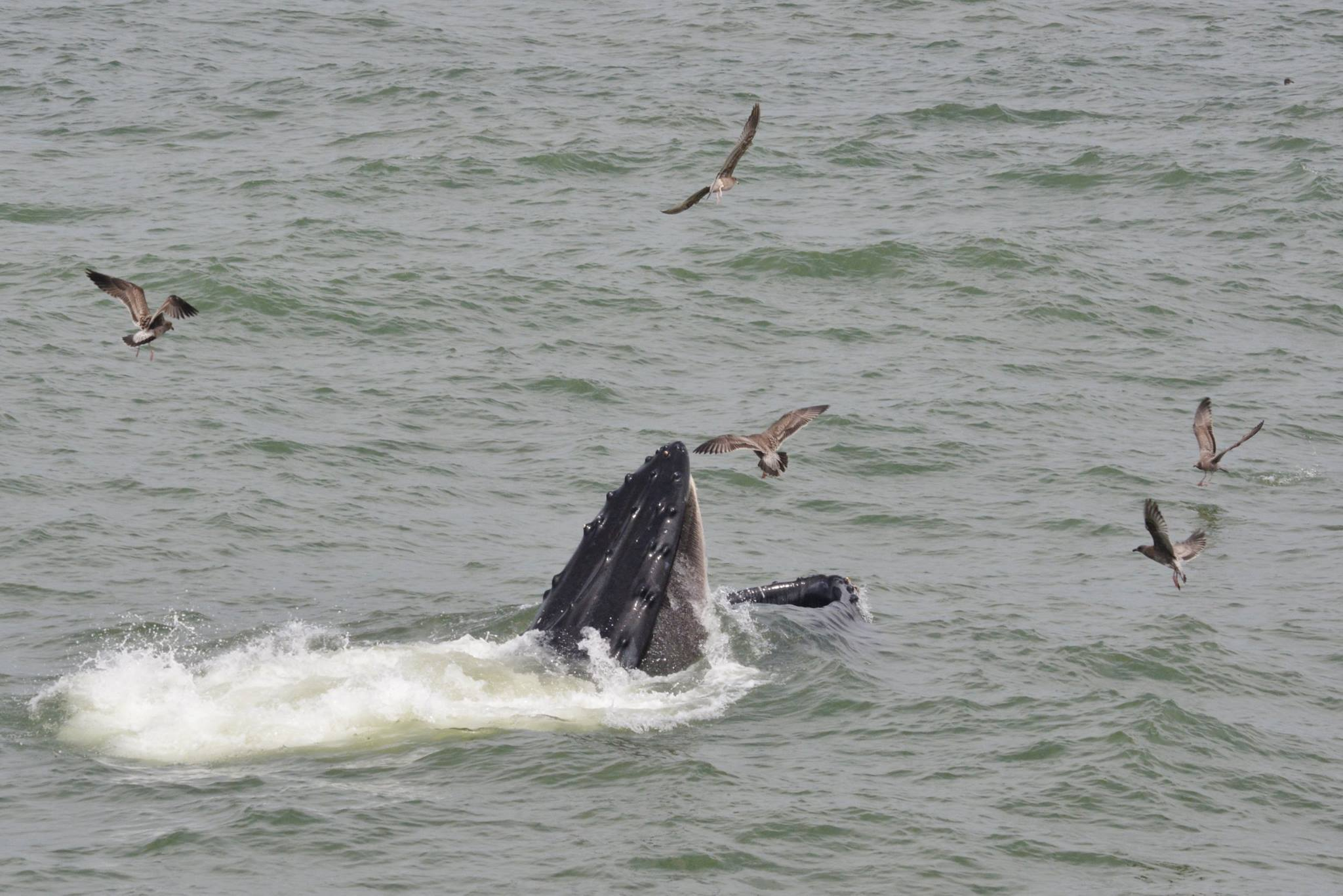Major feed for whales... and birds Photo Vinny Vance